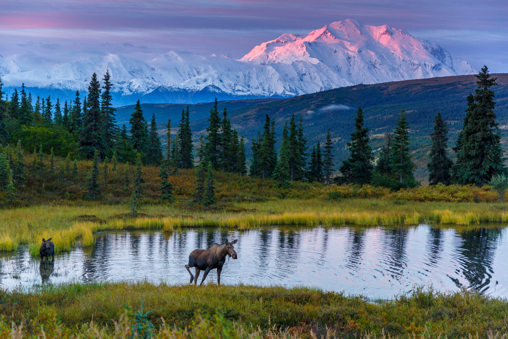 Cow moose and calf in pond with Denali in background at sunrise in Denali National Park   Photo by Jeff Schultz/SchultzPhoto.com  (C) 2017  ALL RIGHTS RESERVED