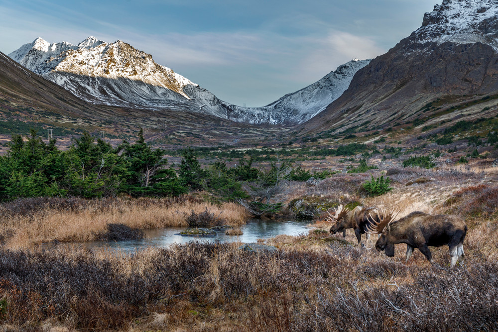 Fall landscape of bull moose drinking at pond with Chugach Mountains in background. Powerline Pass. Chugach State Park. Southcentral, Alaska  Photo by Jeff Schultz/SchultzPhoto.com  (C) 2018  ALL RIGHTS RESERVED