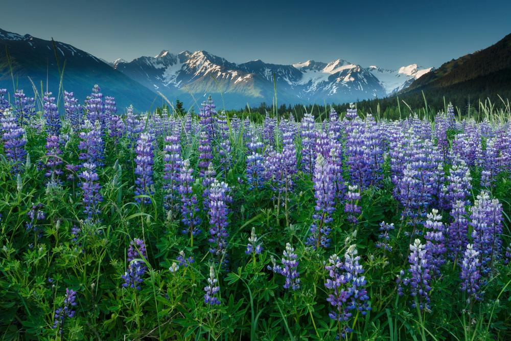 Summer landscape of Lupine flowers along Turnagain Arm with Kenai Mountains in background near Girdwood, Alaska  summer June 2015  (C) Jeff Schultz/SchultzPhoto.com