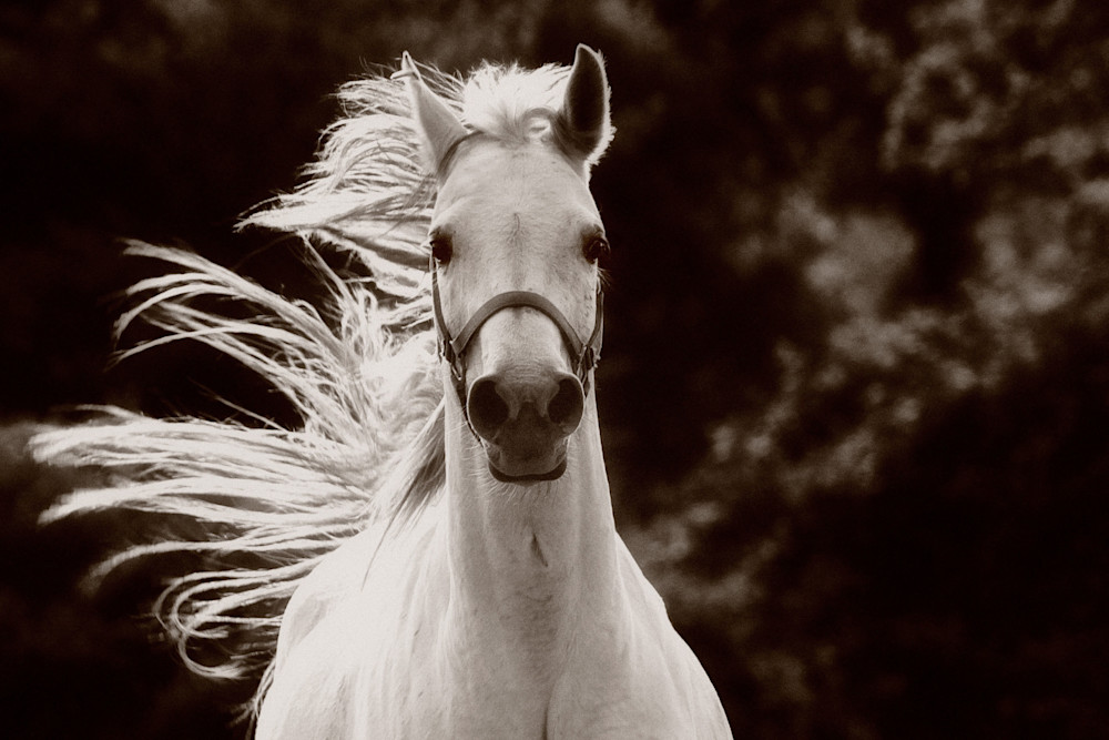 Gray Arabian mare with mane flying print