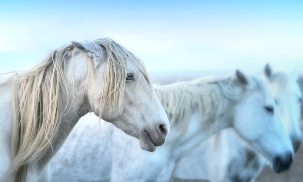 blue eyed stallion