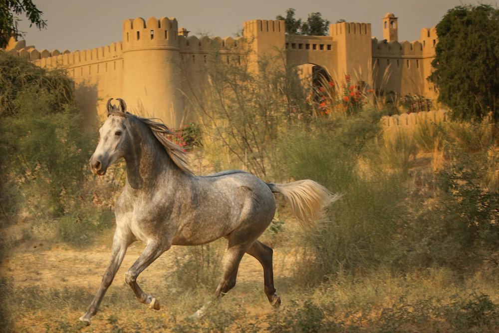 Stunning Gray Marwari stallion running print