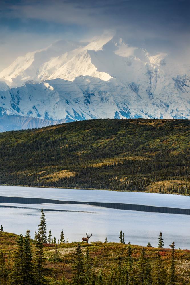 Caribou and Wonder Lake with Mt. Mckinley in Denali National Park during the 2014 Denali Photo Workshop/tour-- Kantishna Roadhouse-- Summer Alaska  Copyright Jeff Schultz / SchultzPhoto.com