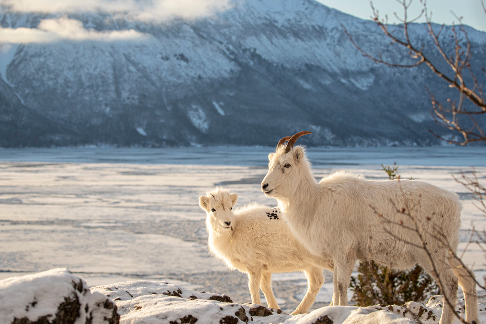 A Dall sheep ewe and lamb pause in fresh snow on a cliff above Turnagain Arm in Chugach State Park.  The Kenai mountains are in the background. Winter Southcentral, Alaska   Photo by Jeff Schultz/  (C) 2020  ALL RIGHTS RESERVED