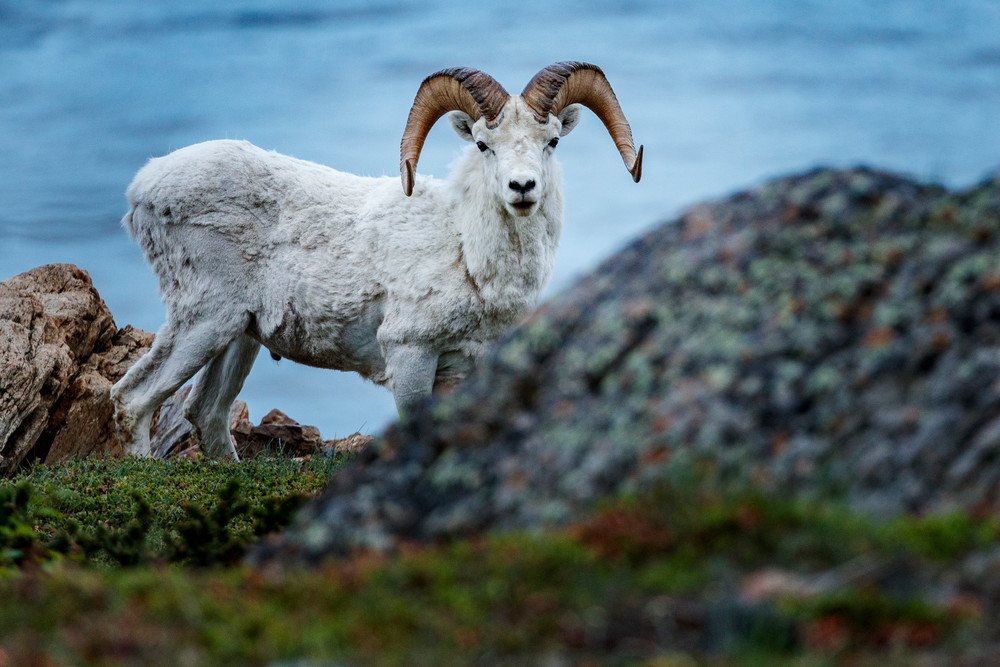Dall sheep ram peaks over edge at Windy Corner of Chugach Mountains, Chugack State Park with Turnagain Arm water in background .  Southcentral, Alaska  Summer  Photo by Jeff Schultz/  (C) 2020  ALL RIGHTS RESERVED