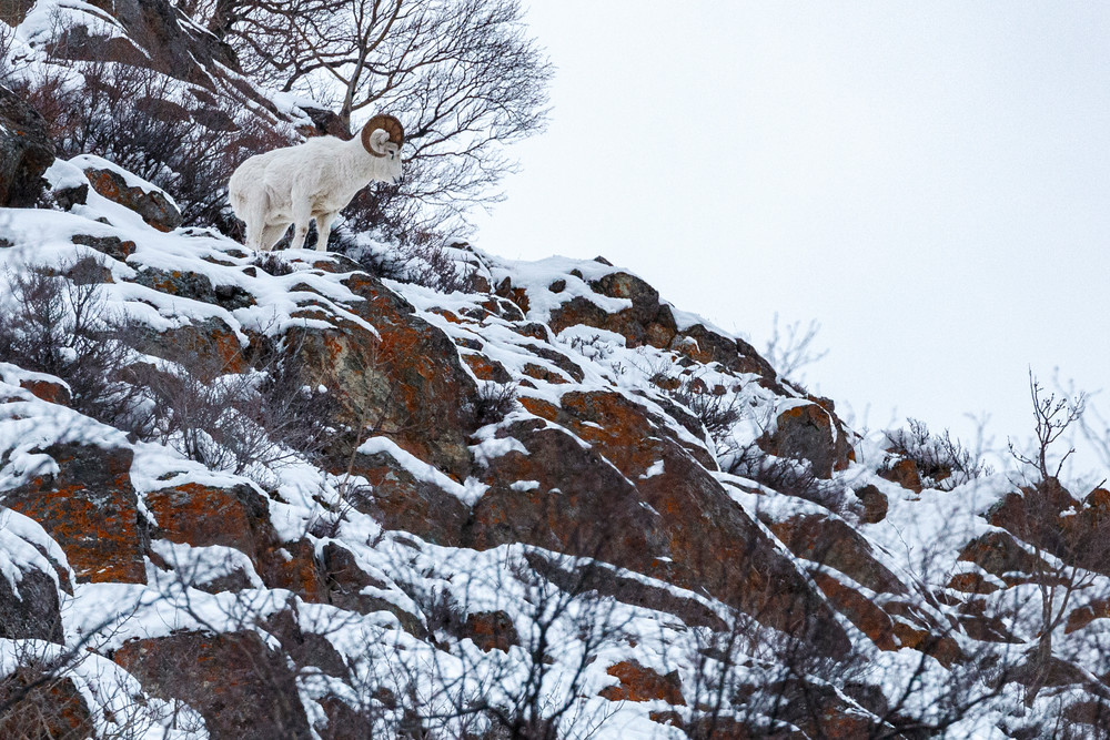 Winter Landscape of Dall Sheep in snow-covered rocks along Seward Highway at Windy Corner, Chugach State Park.  Alaska  Photo by Jeff Schultz/  (C) 2020  ALL RIGHTS RESERVED