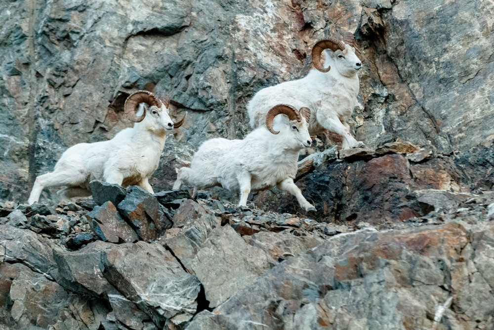 Dall Sheep rams on cliffs in Chugach State Park, Alaska.  Winter rut season  Photo by Jeff Schultz/  (C) 2020  ALL RIGHTS RESERVED