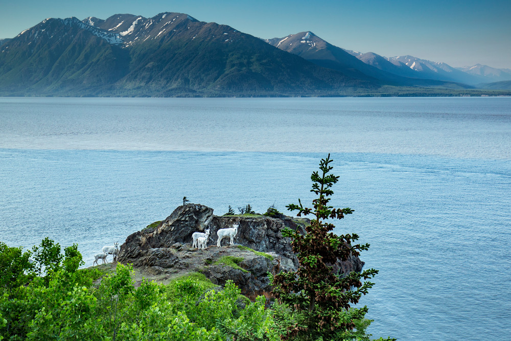 Dall sheep group on rock outcropping along Seward Highway with Turnagain Arm and Kenai Mountains background  summer 2015