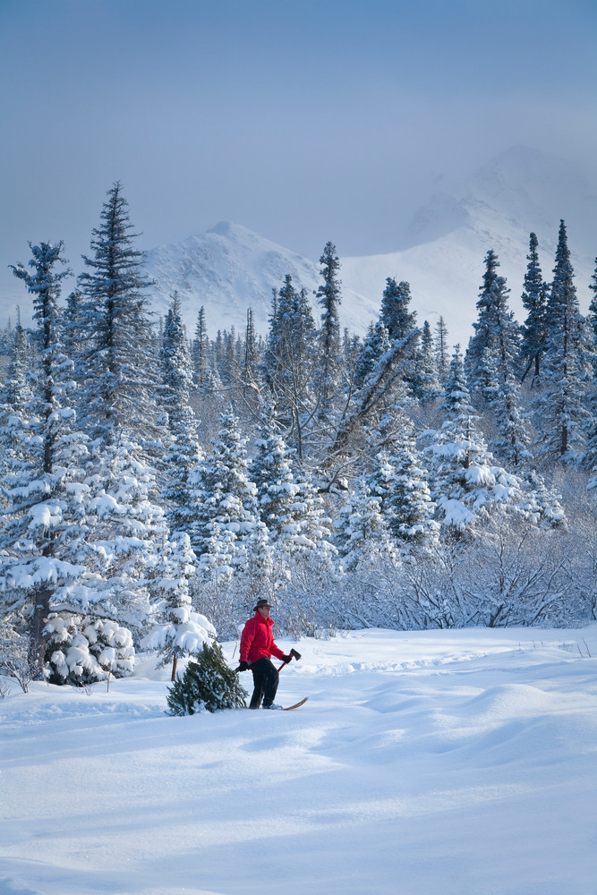 man snowshoeing with fresh cut Christmas tree and axe in forest with Chugach mountains in background.  MR  2010_3  J. SchultE