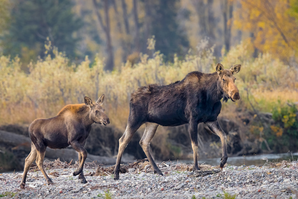 Moose Mother with Calf