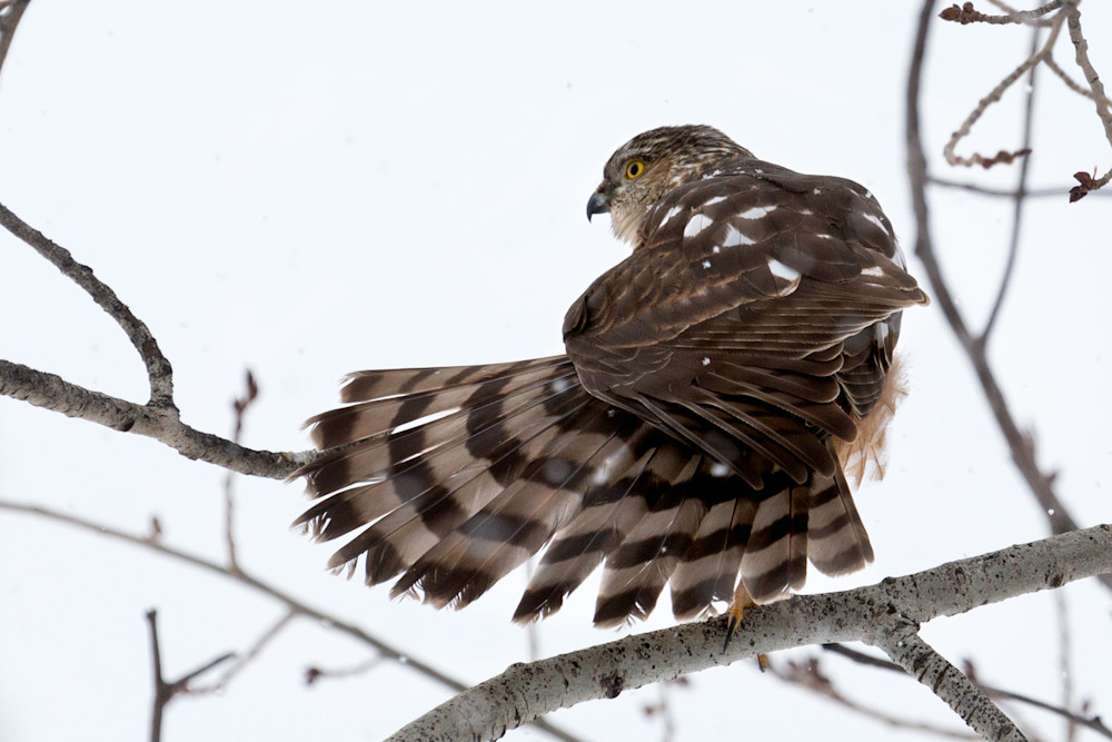 Sharp Shinned Hawk  # 2508 Photography Art | Mary Edwards Photography