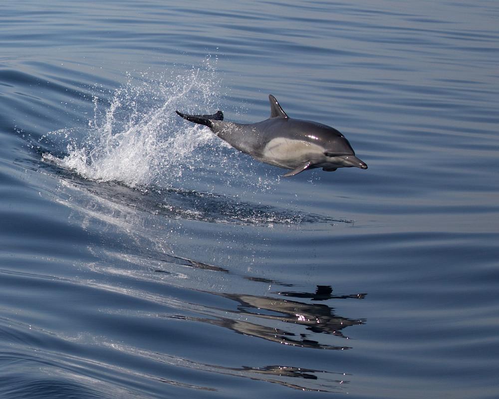 Dolphin Leap Photography Art | Leiken Photography