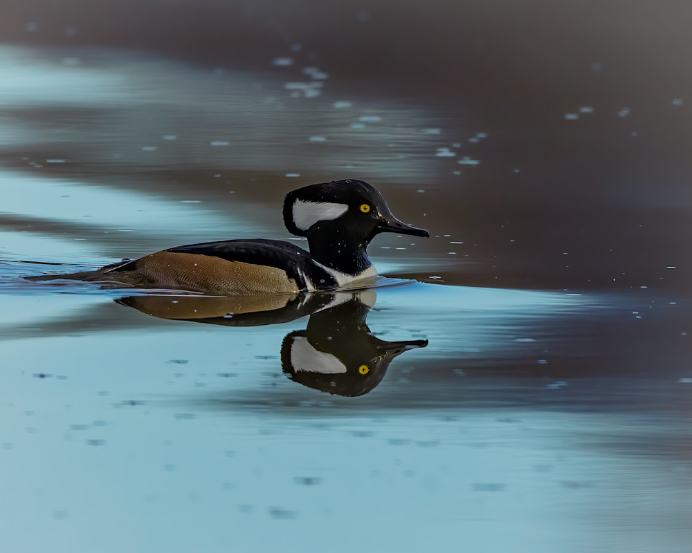 Hooded Merganser Swimming in Blue Water with Reflection