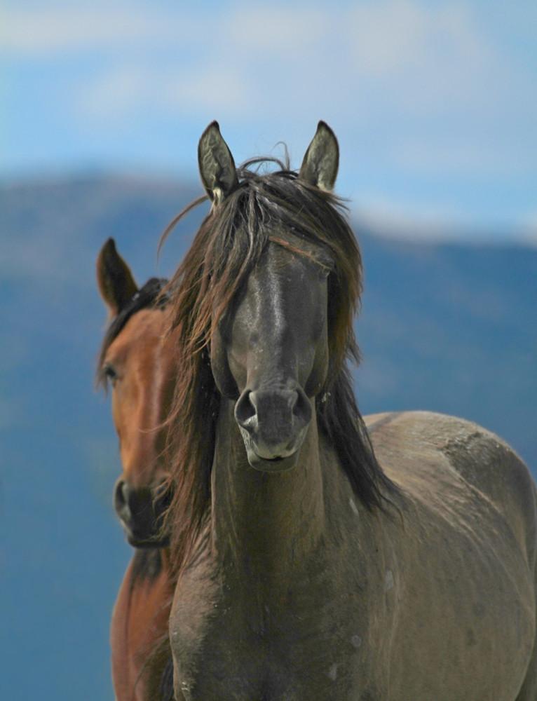 Wild Stallion with mesmerizing stare.
