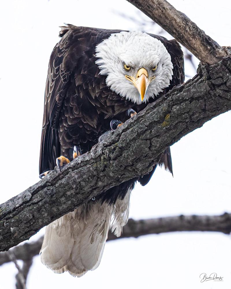 Bald Eagle Evil Eye