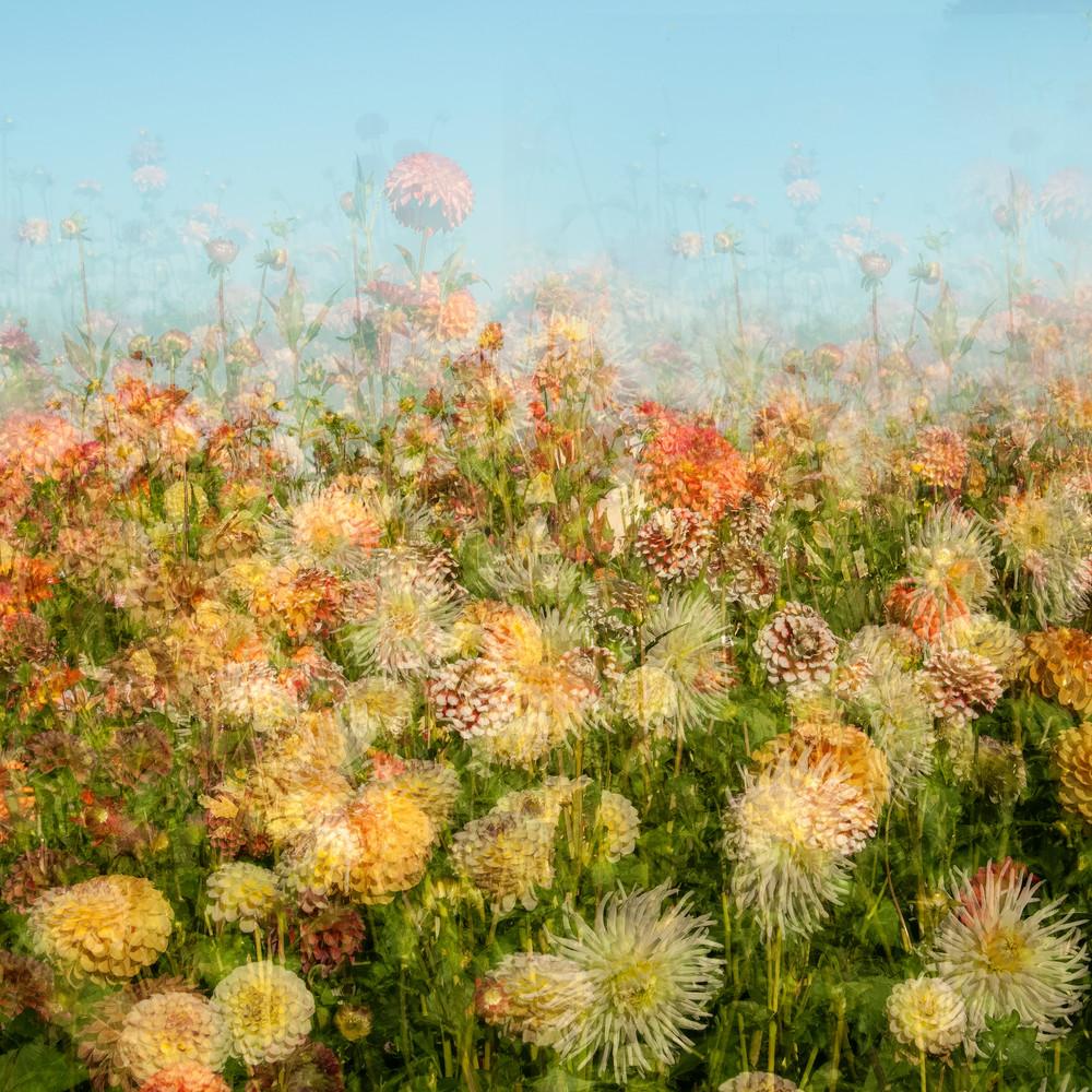 Dahlia Field Photography Art | Felice Willat Photography