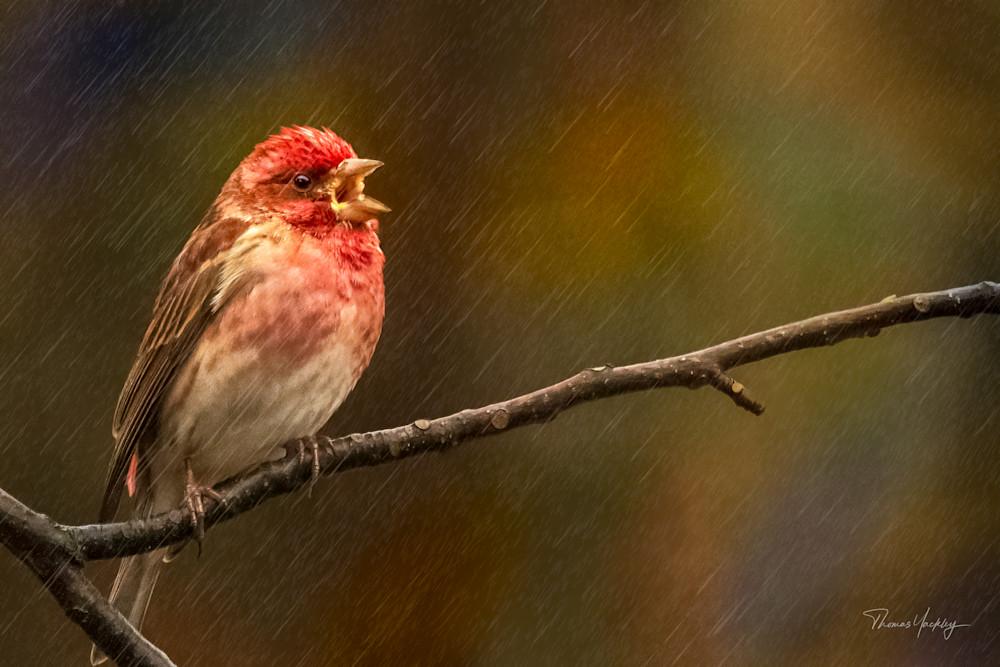 Singing In The Rain Photography Art   Thomas Yackley Fine Art Photography