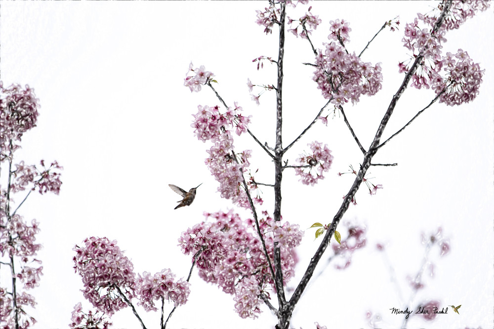 Hummingbird And Cherry Blossoms Photography Art   Mindy Fine Art Photography