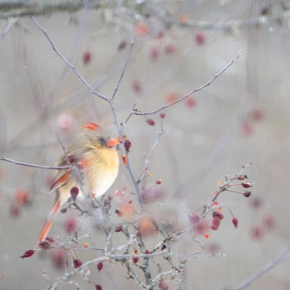 Northern Cardinal, Tepple Creek, Oakland County, Michigan