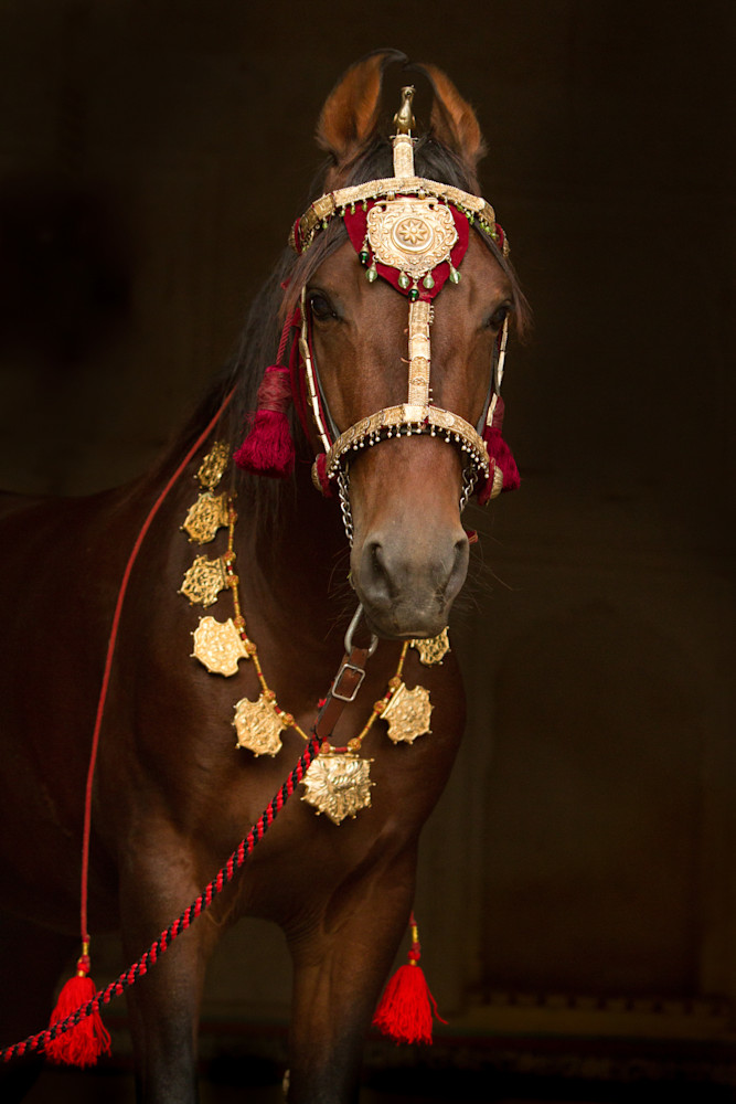Decorated Marwari Horse