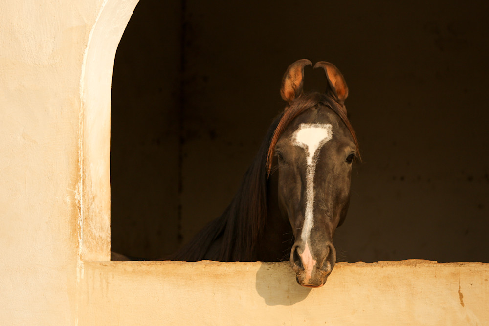 Marwari Stallion