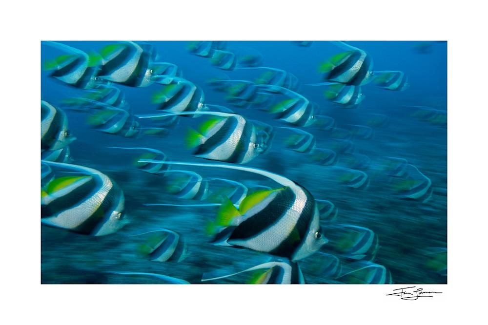 Photo of Schooling Bannerfish in Fiji.