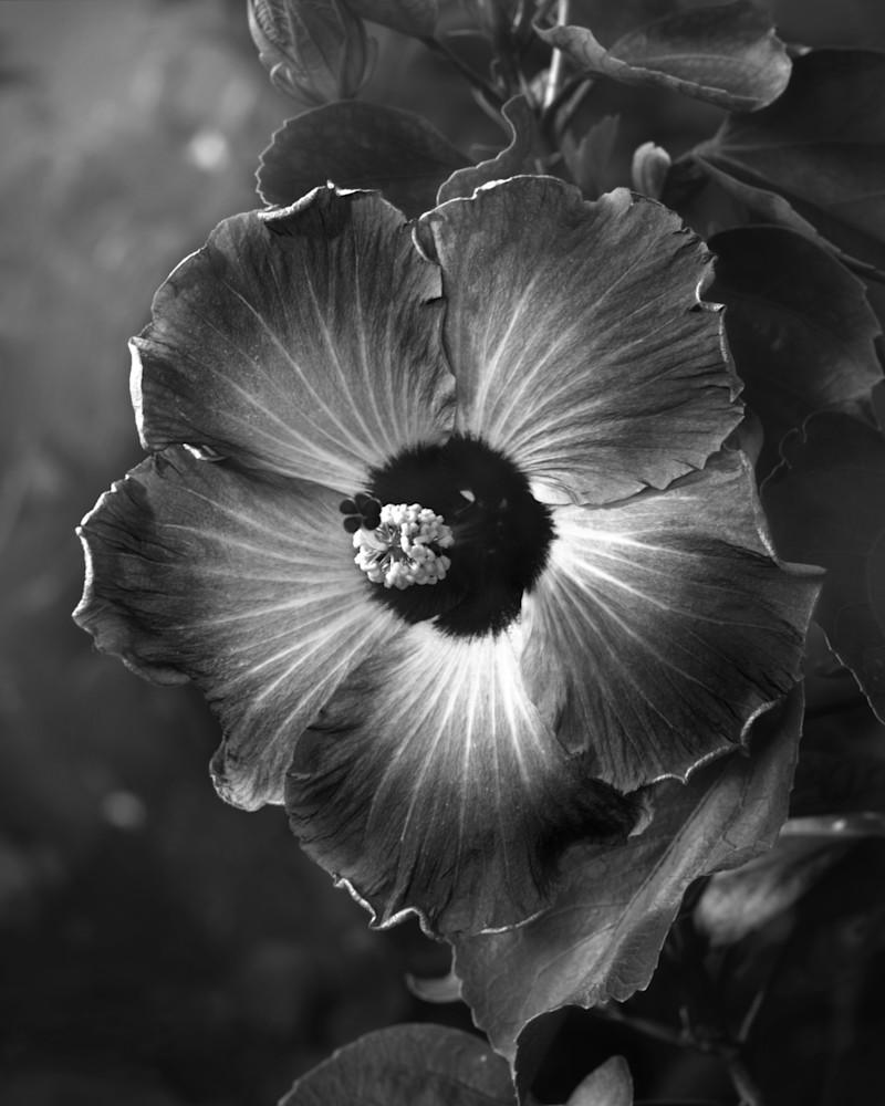 B&W Hibiscus Photography Art | Rick Gardner Photography