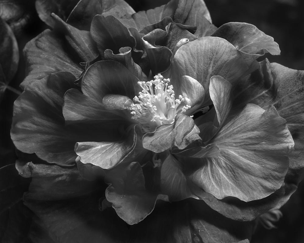 Camellia B&W Photography Art | Rick Gardner Photography