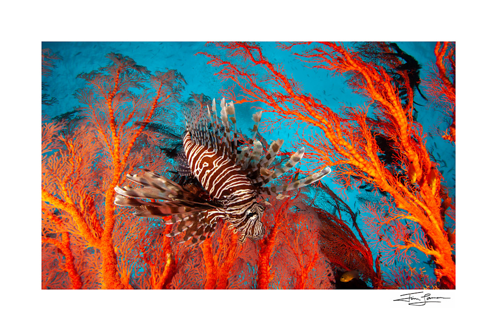 Home Decor photograph of a lionfish with beautiful color.