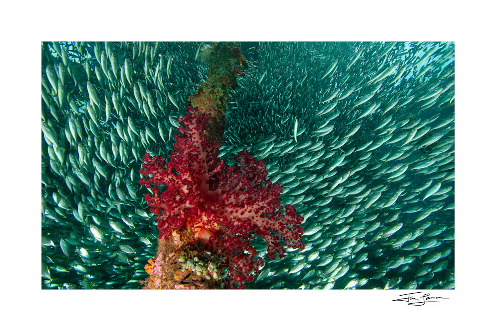 Fish surrounding soft corals and tunicates Under the Jetty.