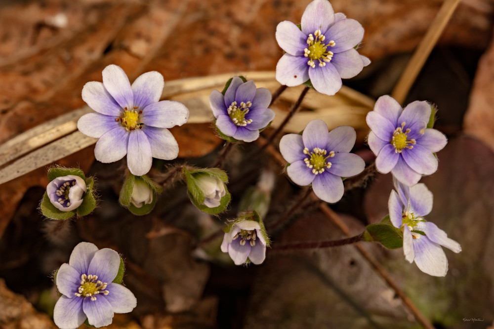 Purple Liverwort Pennywort 0234 Fss Art | Koral Martin Fine Art Photography