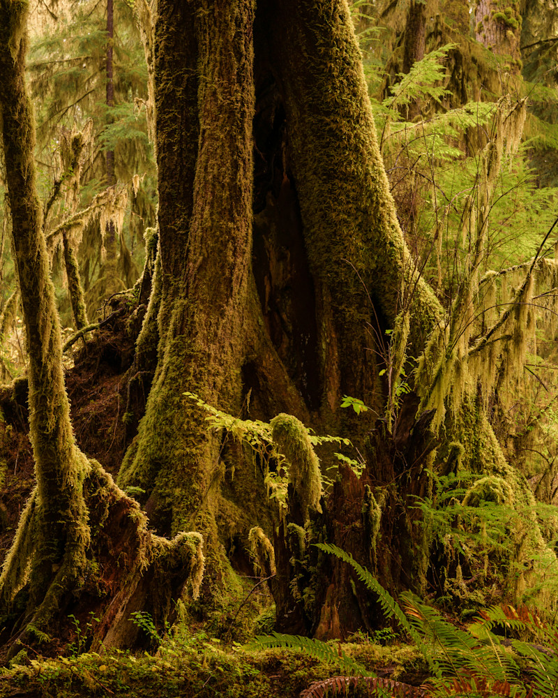 Tree, Queets River Valley, Olympic National Park, Washington, 2020