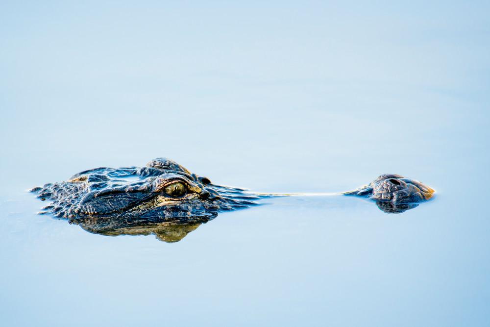 Alligator Head Breaking Water Surface