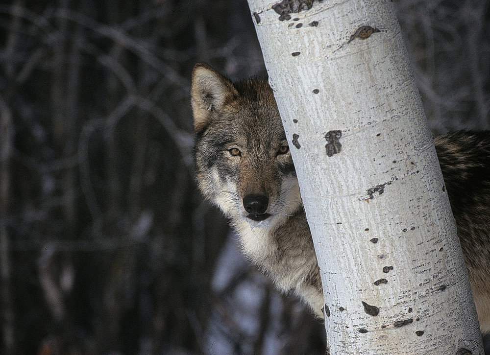 Timber Wolf Hiding Photography Art | Great Wildlife Photos, LLC