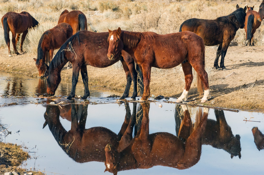 Horses At Steamboat Ditch Photography Art   Great Wildlife Photos, LLC