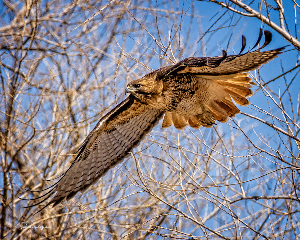 Red Tailed Hawk Flight Art | Third Shutter from the Sun Photography