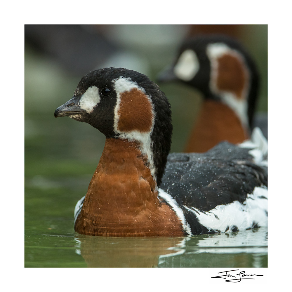 Red Breasted Geese In Light Rain Photography Art | Tim Laman