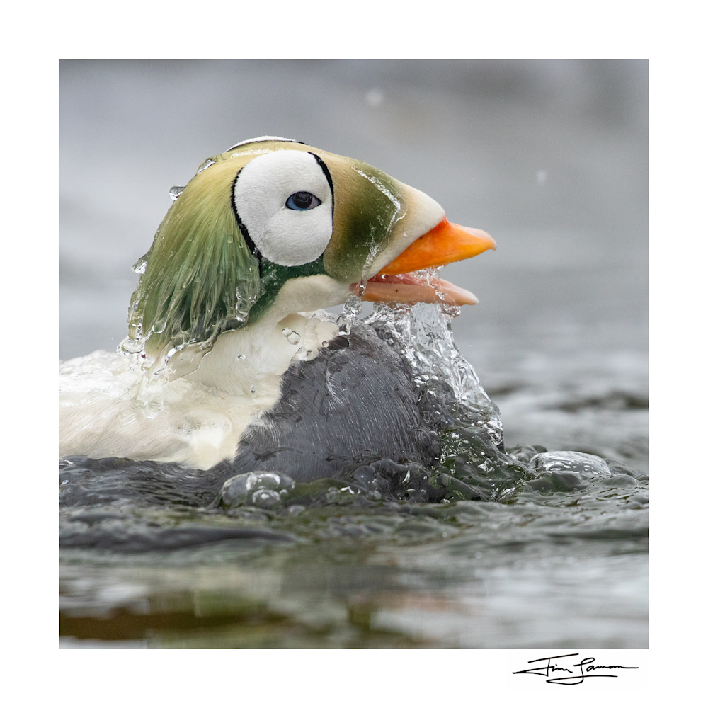 Water pours off a male Spectacled Eider as he comes up from a plunge. (Somateria fischeri)