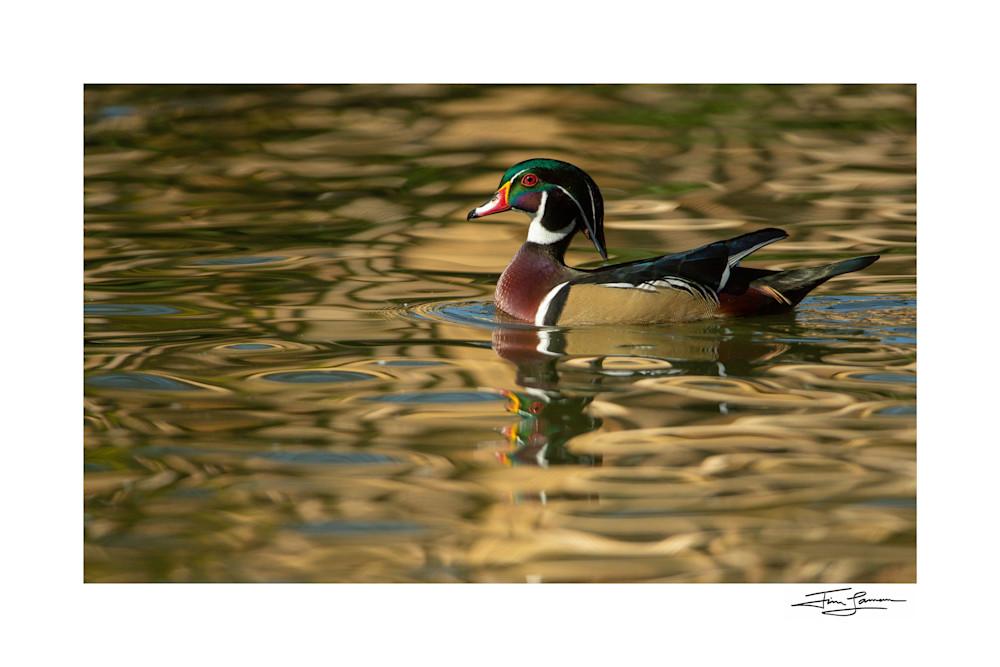 Wood Duck And Reflections Photography Art   Tim Laman Photo