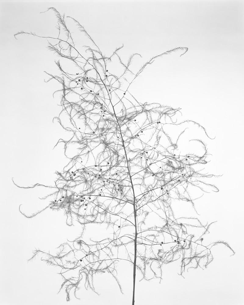 Late Season Asparagus Photography Art   Rick Gardner Photography