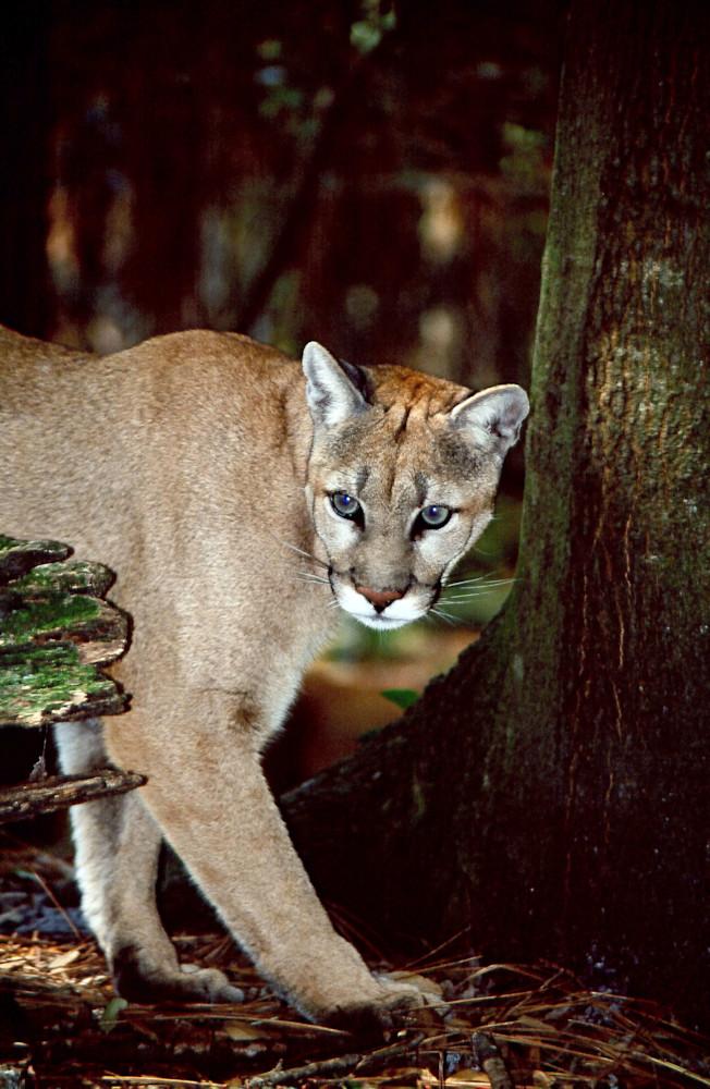 Stealthy Lion Photography Art | Great Wildlife Photos, LLC