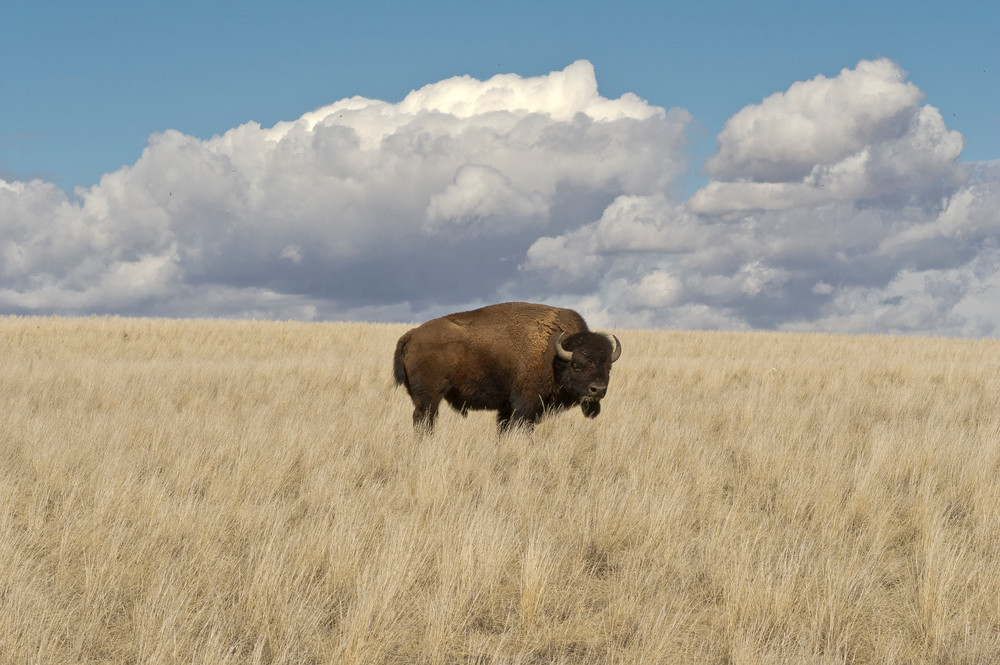 Bison Home On The Range Photography Art   Great Wildlife Photos, LLC