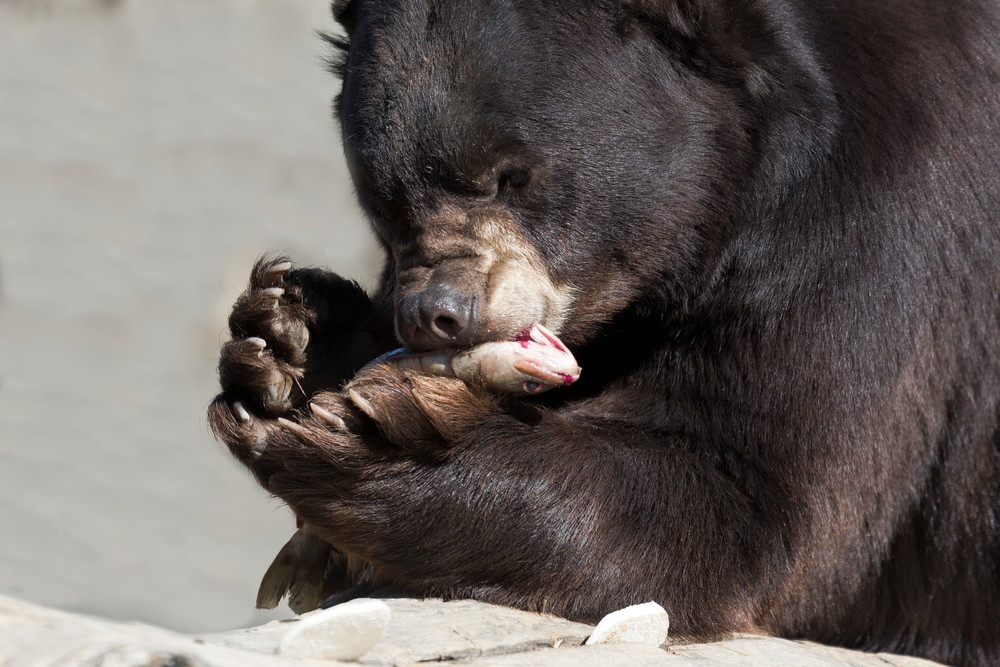 Black Bear Holdiing Fish Photography Art | Great Wildlife Photos, LLC