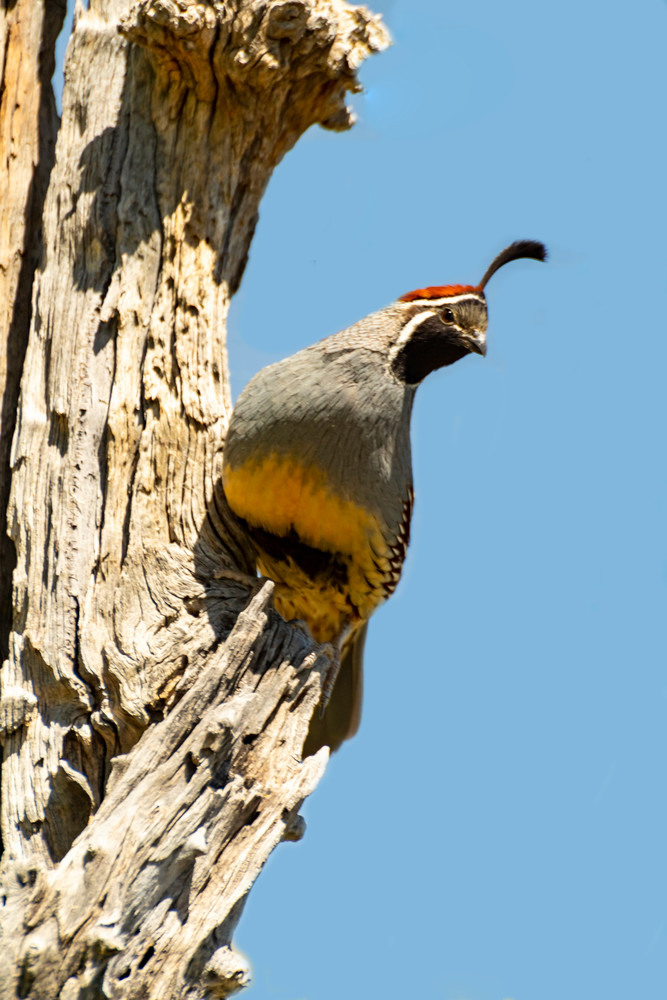 Gambel's Quail Observing Photography Art | Great Wildlife Photos, LLC