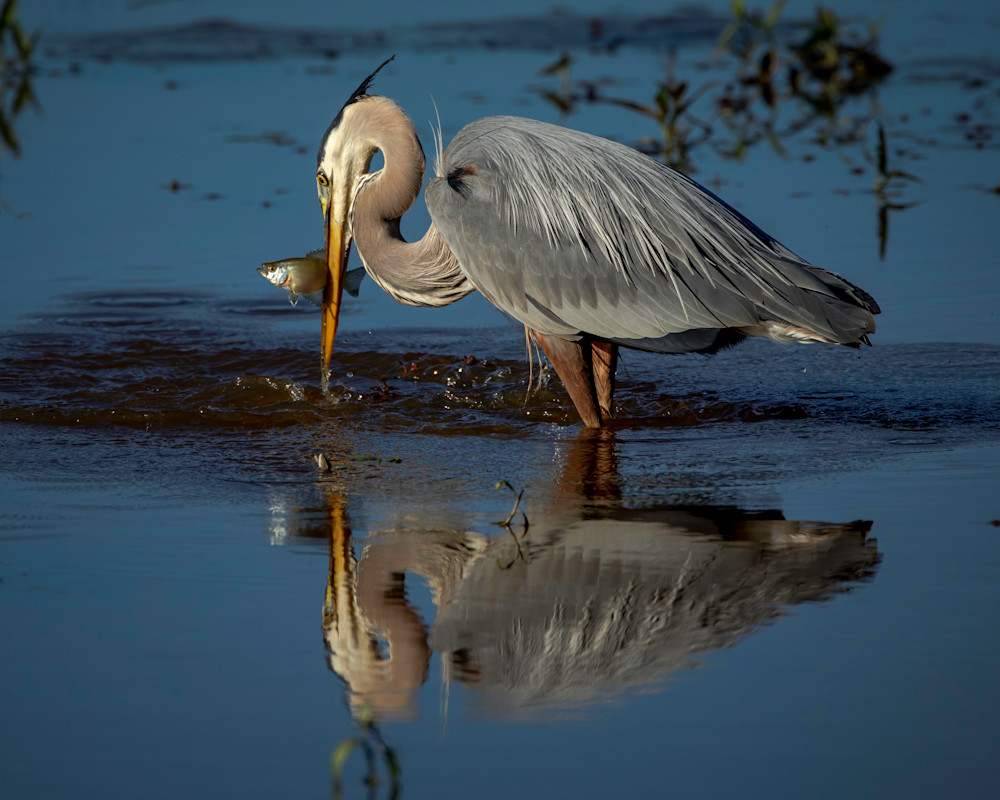 Great Blue Heron Catches Fish Reflection