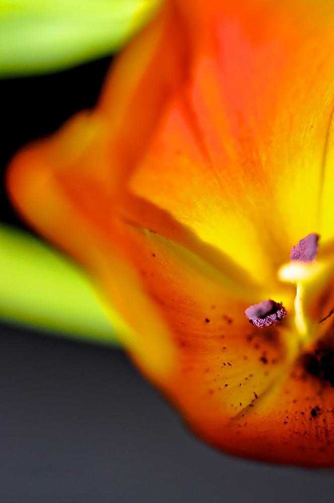 flower, orange, tulip, bloom