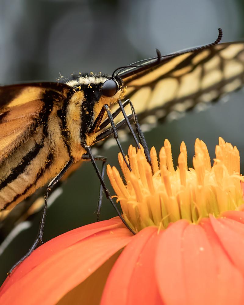 Eastern Tiger Swallowtail Butterfly  Feeding