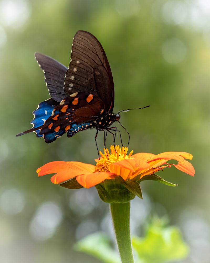 Spicebush Swalowtail Butterfly