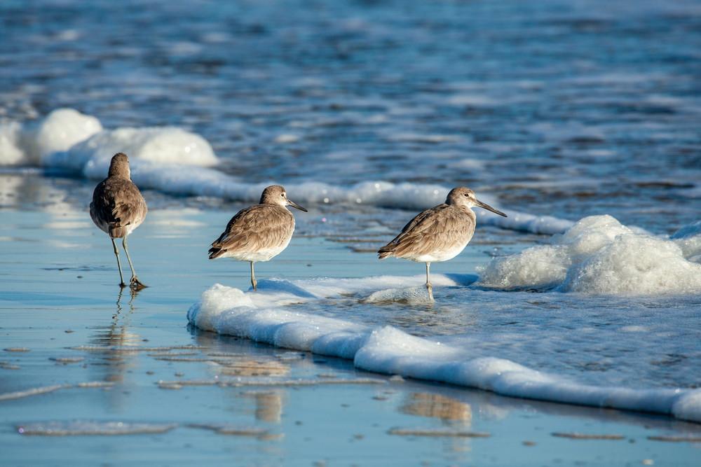 Willets in the Sea Foam