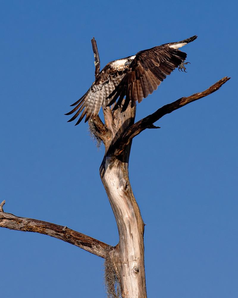 Osprey taking flight - Wildlife fine-art photography prints